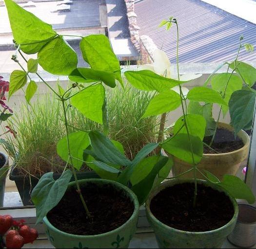 haricots poussent