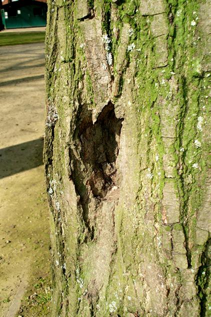 coeur d'arbre