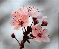 fleurscerisier