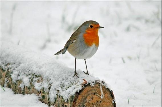 oiseau-froid