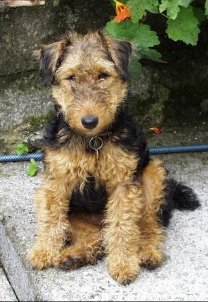 Fox_Terrier_Wirehaired-3115