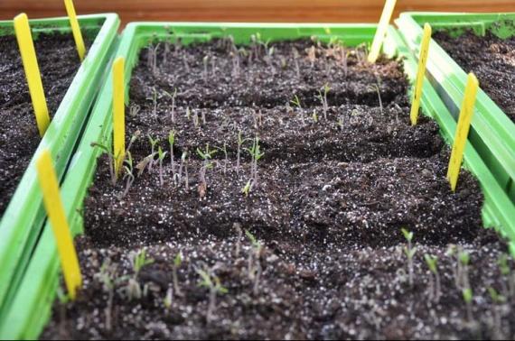 mes semis de tomates jardinage forum vie pratique. Black Bedroom Furniture Sets. Home Design Ideas