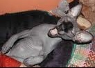 images sphynx