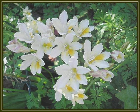galerie-membre,fleur-freesia,fleurs-de-freesia-021