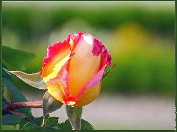 galerie-membre,fleur-rose,fleur-rose-6jpg