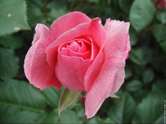 galerie-membre,fleur-rose,fleur-rose-2jpg