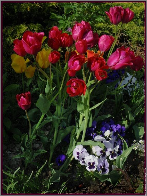 imgp4218-bouquet-tulipes-sur-parterre-pensees