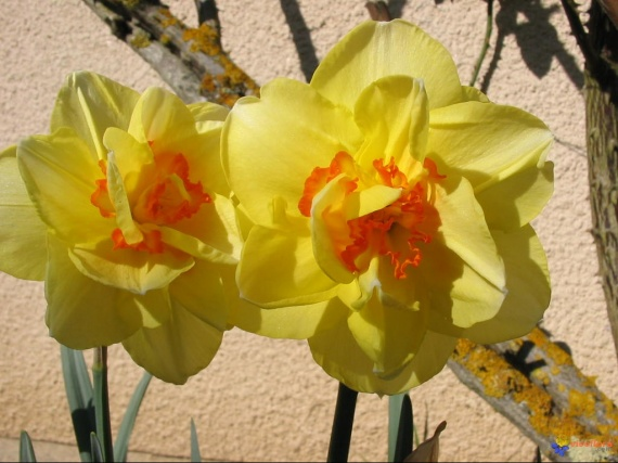 narcisses-tahiti-visoflora-9636