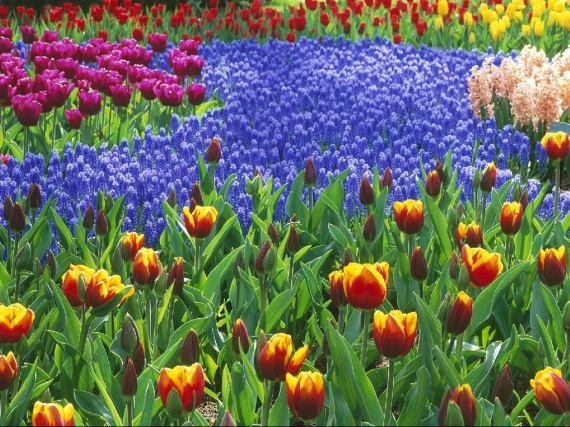 yes tulipes pour ma mamy