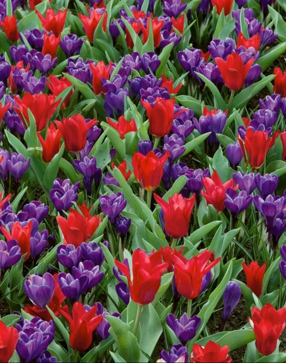 yes4939-Crocus-et-Tulipes