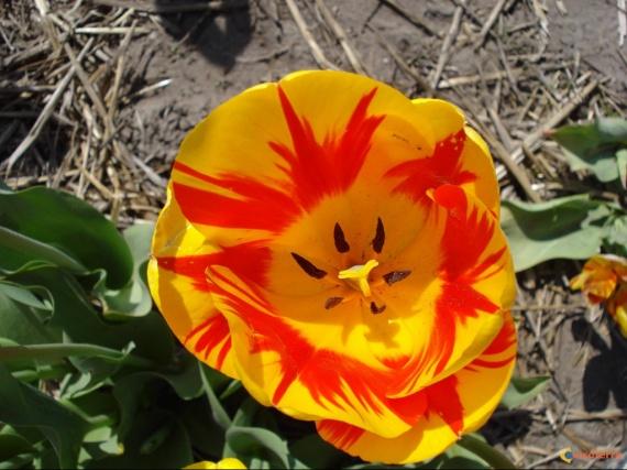 tulipes-hollandaises-2-visoterra-13748