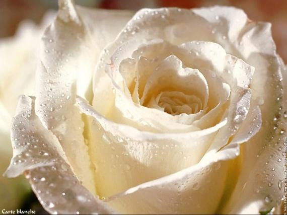 yessss rosewdrjbb5v