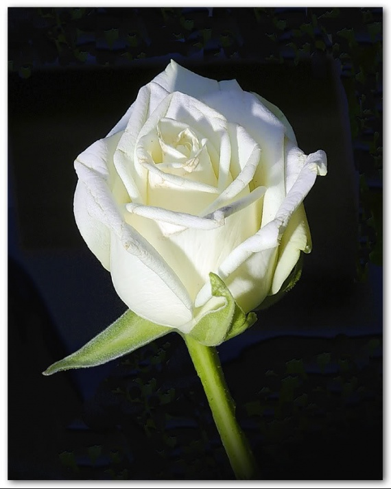 rose-blanche