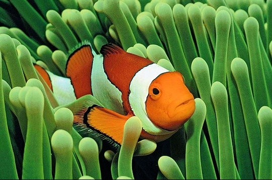 cachette-poisson-clown-259243
