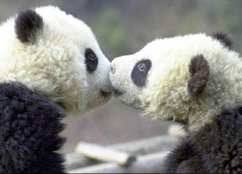 amour-pandas