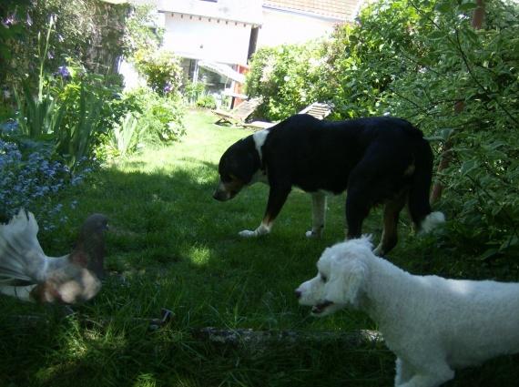 chiens semoy 035