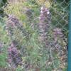 Plante Danuta