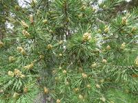 Pommes de pin sylvestre