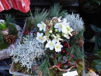 HELLEBORES ou Roses de Noël