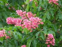 Fleurs de maronnier
