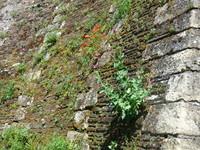 coquelicots sur un mur