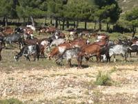 Chèvres du Rove