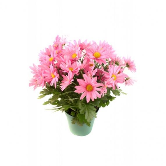 chrysantheme-rose