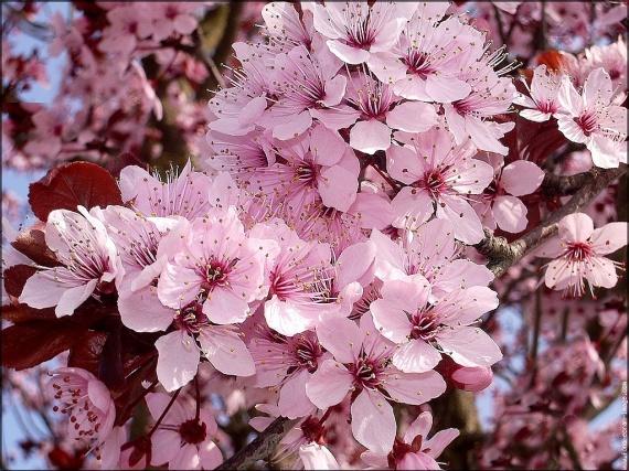 fleurs-de-prunus-4