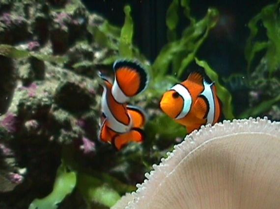 Poisson clown droles de noms pour des poissons for Manger pour poisson aquarium