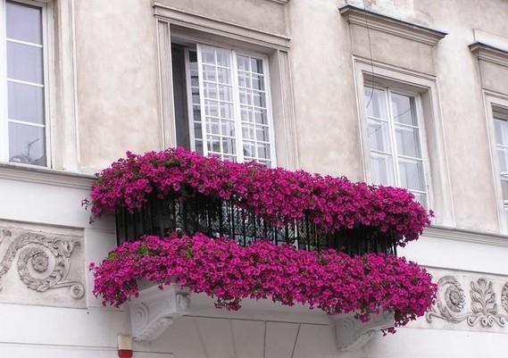 Fleurs balcon plein soleil pétunias pourpes