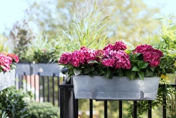 Fleurs Balcon Plein Soleil Hortensia Rose 300 Idees Deco