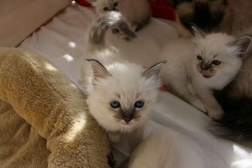 Belle et Shea de Birman (1)
