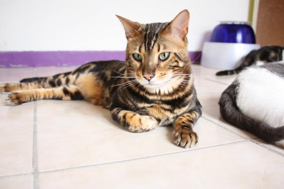 chats-djambi-img