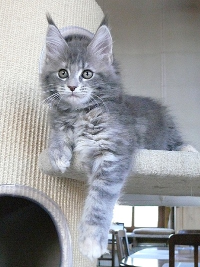 Croise Maine Coon 3mois Chats Forum Animaux