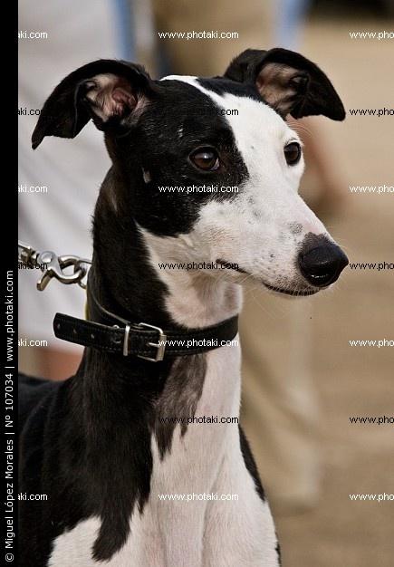 noir-et-blanc-chien-levrier_107034