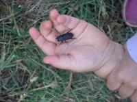 Petit Scarabée inconnu dans la main de mon fils!
