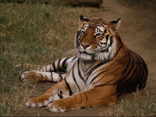 Tigre11