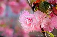 fleurs-douces-de-sakura-thumb12448353