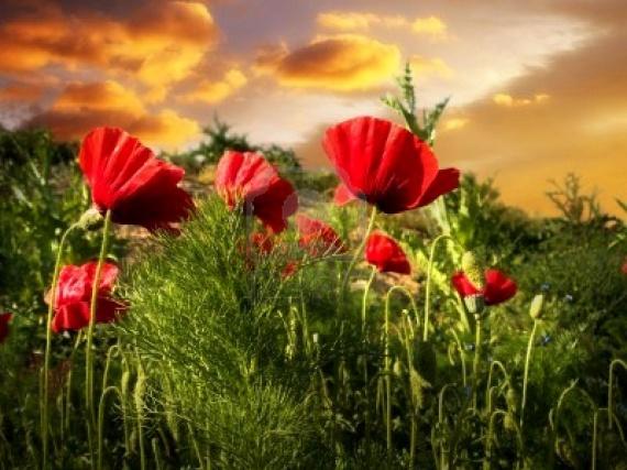3107417-champ-de-coquelicots-coucher-de-soleil-dans-l-39-herbe-verte-des-nuages-du-ciel