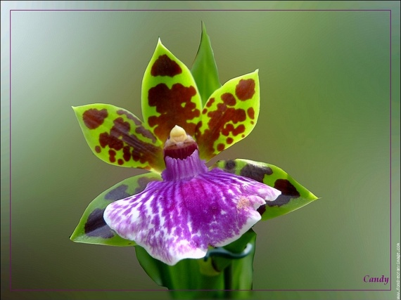 orchidee-verte-et-mauve