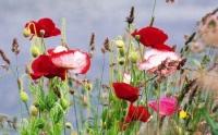 1268805580_2560x1600_poppy-flowers