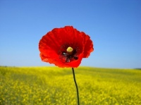 coquelicots-2-coquelicot-fond-nature-img