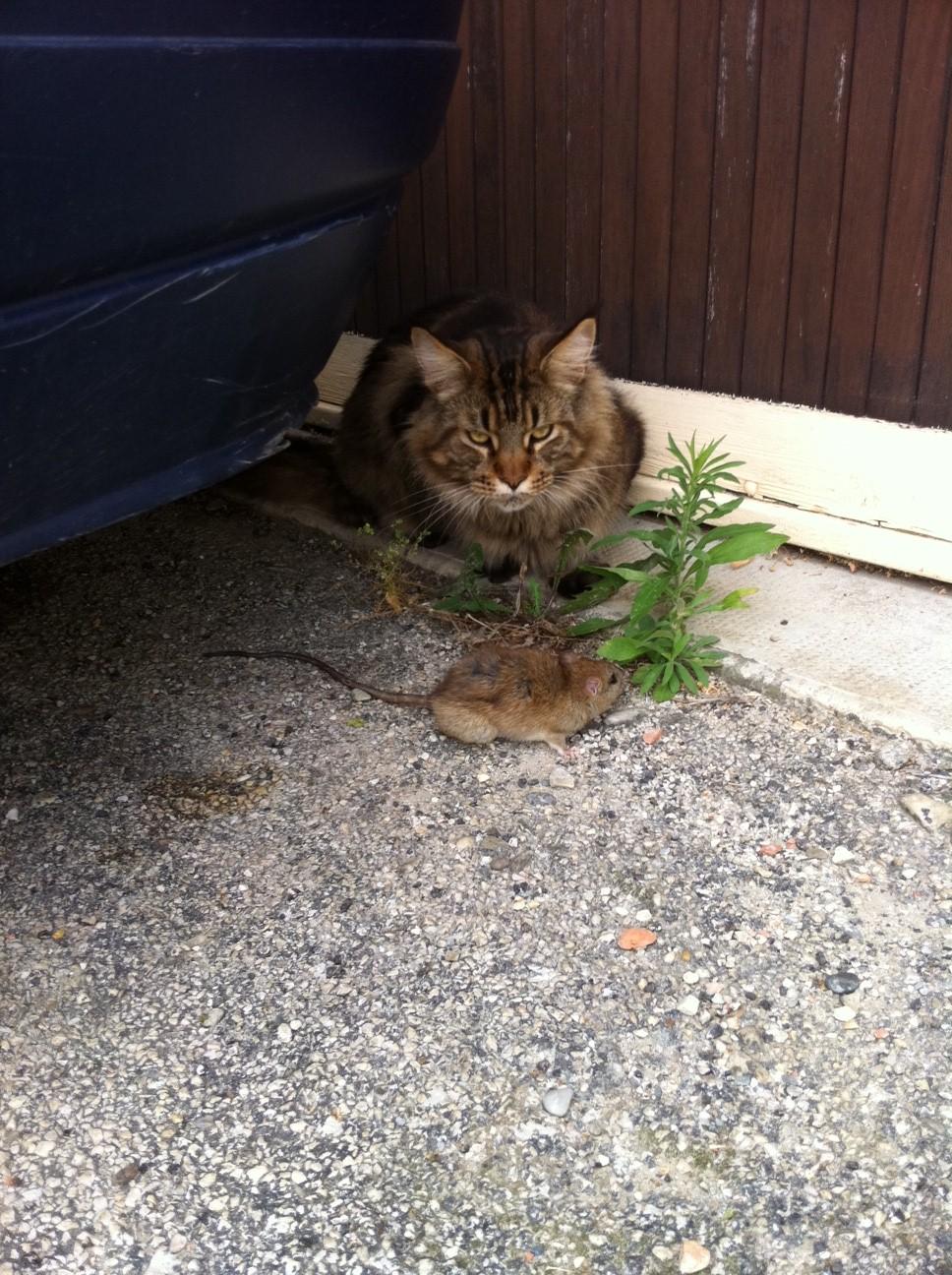 J Ai Une Souris Chez Moi meilleur chasseur de souris - chats - forum animaux