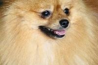 chiens-Spitz-allemand-20d83ece-7031-b834-210b-8806944cc0d0