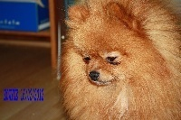 TN200_chiens-Spitz-allemand-734c1428-ae24-14a4-6588-cebb0fe77ff7
