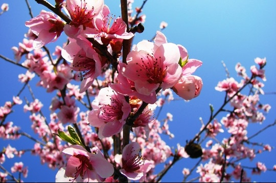 fleurs de pommier