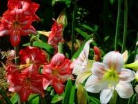 Amaryllis blanc et rouge