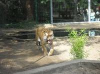 Tigres (zoo de la Palmyre)