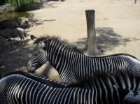 Zèbres (zoo de la Palmyre)
