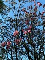 Notre magnolia